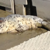 Bug, The Orphaned Baby Harbor Seal, Moved To Crescent City