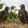 Fledgling Humboldt Bay Eaglets Taking To The Skies