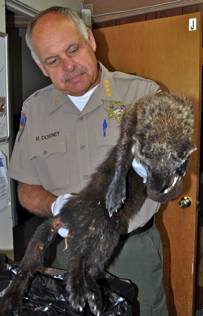 Sheriff Mike Downey with a dead Fisher. The Fisher is likely to de designated as an Endangered Species in California next year.
