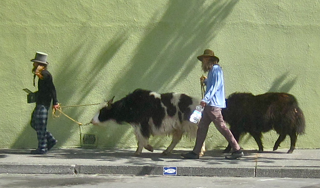 Yak herders Samuel Sanchez and Tom Vanciel walking their animal companions on their spiritual journey through the streets of Arcata. KLH | Eye