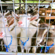 Classy Goats Multiply In McKinleyville – January 31, 2012