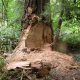 Another Redwood Burl Theft, $1,500 Reward Offered